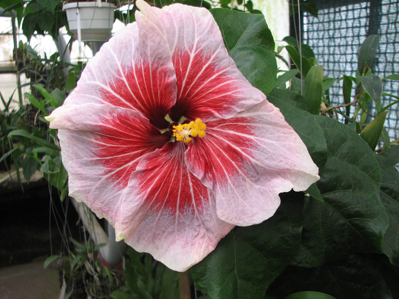 Hibiscus Red Glare.jpg