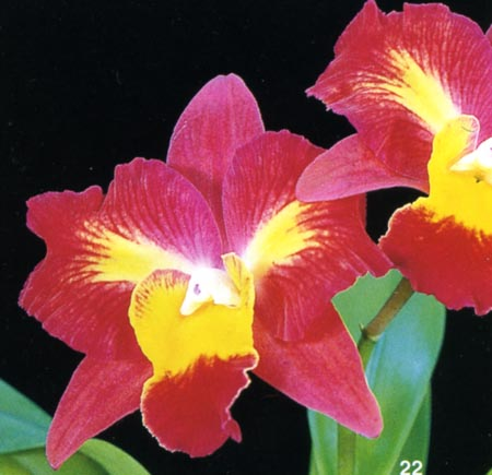 Sophrolaeliocattleya Angel's Dream .jpg