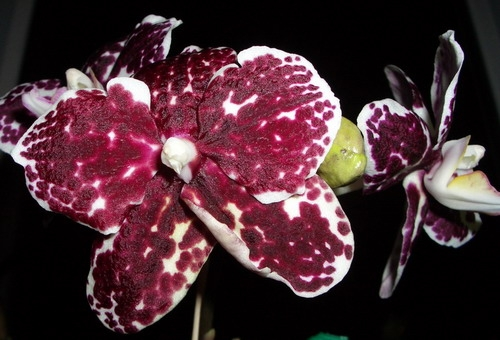 sunM8029-Phal. Ever Spring King Red Face 2007 03 23.jpg