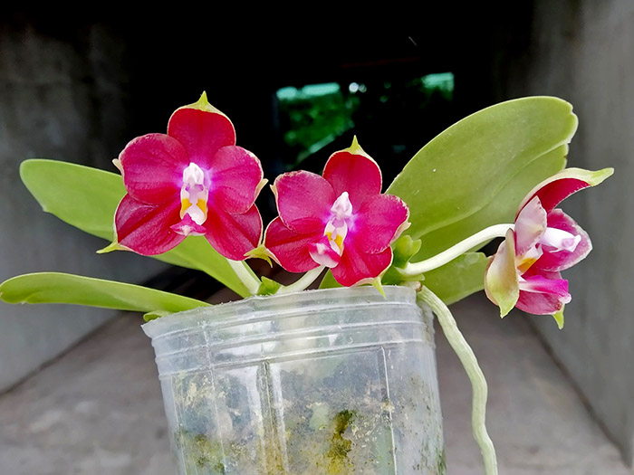 Phalaenopsis LD's Bear King 'Bronze' x Mituo Princess 'Blue'.jpg