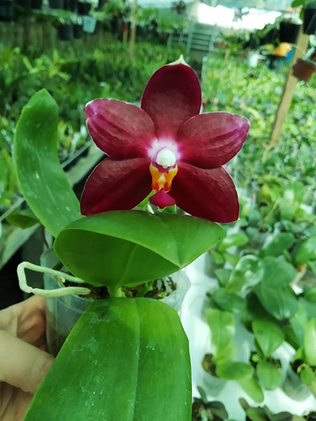 Phalaenopsis KS Super Zebra 'Spicy Girl'.jpg