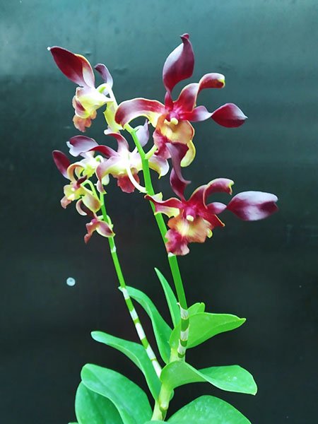 Dendrobium Red Spin.jpg