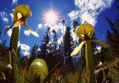 Darlingtonia californica_1.jpg