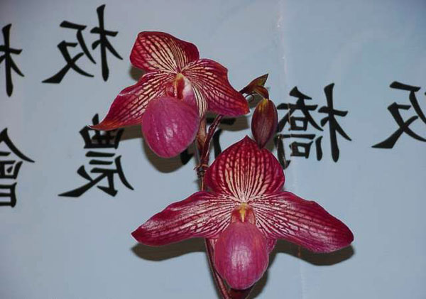 Paph rothschildianum 'Bee-Chuan' x Paph micranthum 'Red'.jpg
