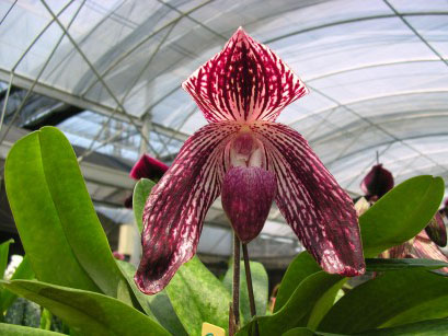Paph Rachael Anne Booth (bellatulum 'Tracy' × Lady Isabel 'OZ' ).jpg